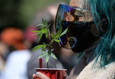 Una persona sostiene una planta de marihuana. Foto AFP