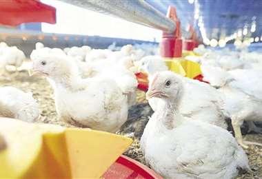 El precio del pollo es bastante sensible en el mercado/Foto: Fuad Landívar