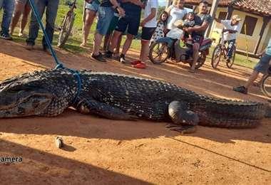 Avanza una investigación para identificar a quienes victimaron al caimán negro. Foto: inte