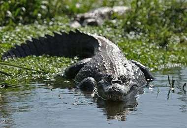 Los ríos amazónicos forman el hábitat natural del caimán negro. Foto: Internet