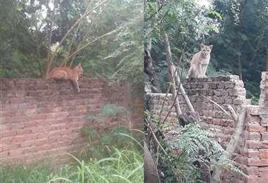 El puma se paseaba por el muro de un predio baldío