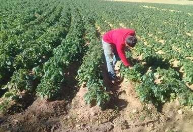 Las heladas afectan parte de la producción agrícola en la valles cruceños
