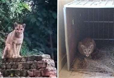 El antes y el después de la felina, en Villa Montes