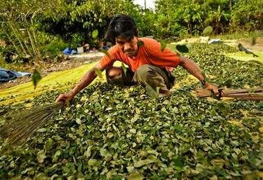 Bolivia es el tercer mayor productor de coca/Foto: EL DEBER