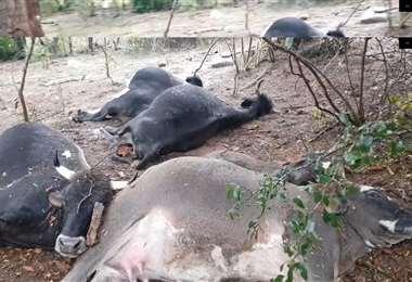 Rayos matan a cinco reses, en Mairana (Foto: Captura de pantalla)
