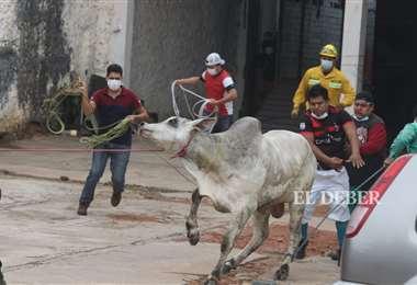 Foto Ricardo Montero: las vacas fueron capturadas con la ayuda de dos vaqueros.