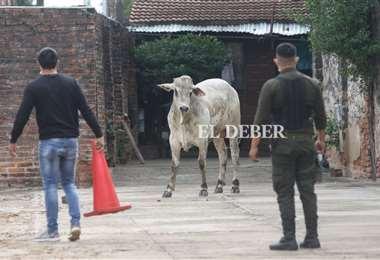 Municipio y policía despliegan un operativo para capturar a las vacas. Foto: JC Torrejón