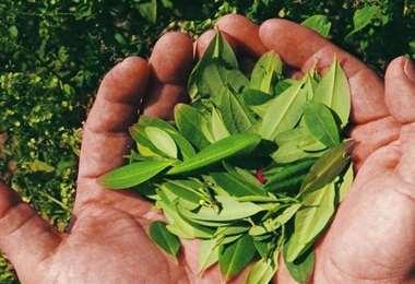 División entre los productores de coca de los yungas. Foto Internet