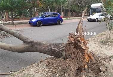 Árbol caído en la calle Mamerto Cuéllar, zona Parque Urbano. Foto: JC. Torrejón