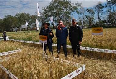 Mostrarán nuevas variedades de trigo en las parcelas demostrativas