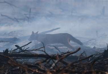 Un zorro patas negras recuperado en el incendio de Viru Viru