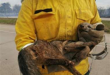 Un pequeño zorro patas negras que escapaba del fuego