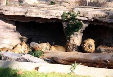 Seis leones y tres tigres del zoo de Wahington contrajeron covid