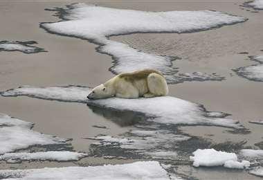 Un oso polar sobre un témpano de hielo. Foto AFP