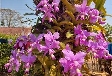 Catleya nobilior, flor símbolo de Concepción/Foto: Jorge Huanca